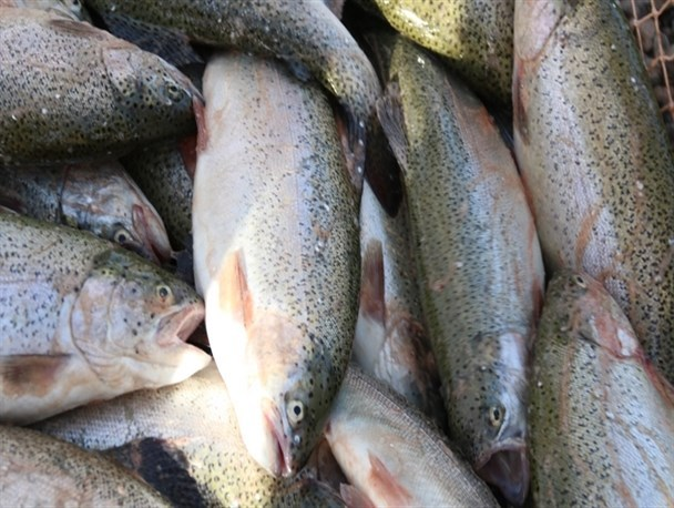 ۲۰۰ تن ماهی در استخرهای پرورش ماهی شهرستان البرز تولید برداشت می شود